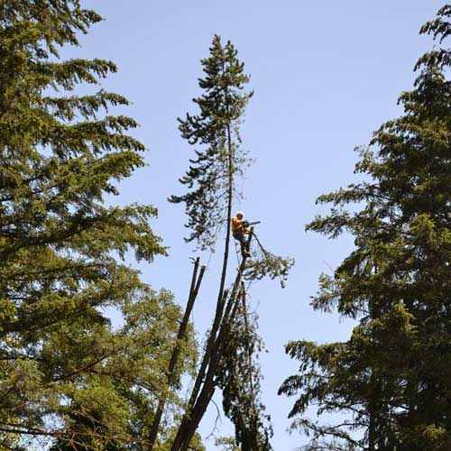 Tree Removal in Vancouver WA and Camas WA